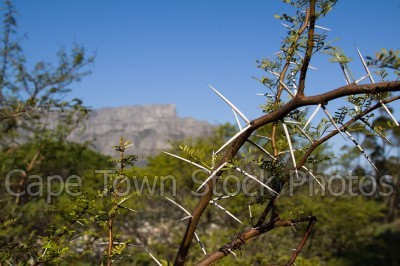 table mountain,flora