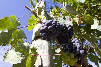 grapes,vines
