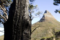 Burned tree and Lion's Head [1301274226]