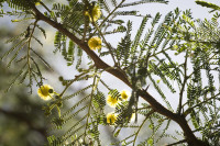 Acacia tree leaves and flowers [1303093791]
