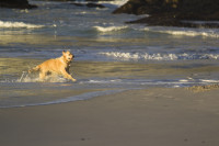 Wet dog playing on the beach at sunset [1304055126]