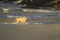 Wet dog playing on the beach at sunset [1304055127]