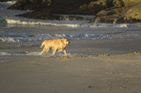 Wet dog playing on the beach at sunset [1304055128]