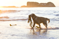 Wet dog playing on the beach at sunset [1304055203]