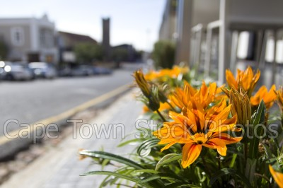 green point,flora,flowers,gazanias