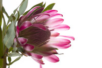 Pink protea flower on white background [1308247111]