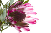 Pink protea flower on white background [1308247112]