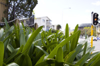 Agapanthus leaves in Orange Street [1308247132]
