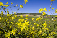 Green hills and yellow wildflowers [1309227198]