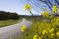 Country road and yellow wildflowers [1309227200]
