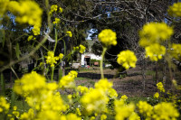 Yellow wildflowers and a farm house [1309227201]