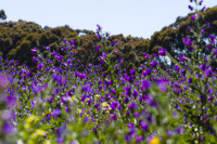 Purple wildflowers [1309227248]