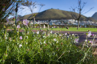 Cape flowers in Green Point Park [1311018182]