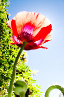 Red Poppy flower from below [1311108482]