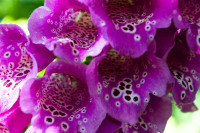 Purple Foxgloves [1311108586]