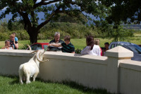 White goat at Fairview Estate [1312149438]