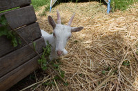 Young billy goat at Fairview Estate [1312149455]