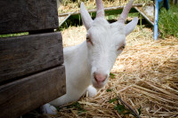 Young billy goat at Fairview Estate [1312149473]