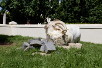 White goat at Fairview Estate [1312149481]