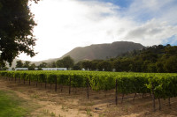 Vineyards of Groot Constantia [1312289635]
