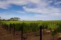 Vineyards of Groot Constantia [1312289639]