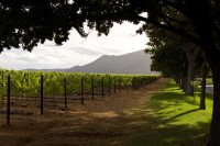 Vineyards of Groot Constantia [1312289642]