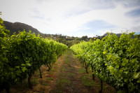 Vineyards at Groot Constantia [1312289648]