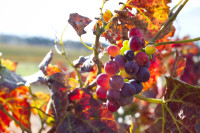 Red grapes on a vine in autumn [1403230786]