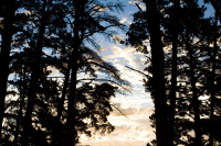 Sunset through pine trees [1403230821]