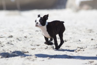 Boston Terrier puppy on the beach [1503148800]