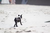 Boston Terrier puppy on the beach [1503148807]