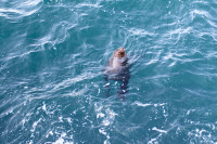 Seal at Kalk Bay harbour [1507050745]